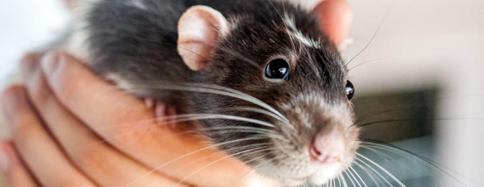 Rat-Web